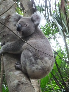 Koala in the wild - Byron Bay