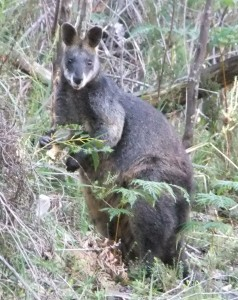 Black wallaby.
