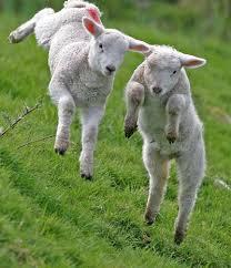 Lambs gambolling